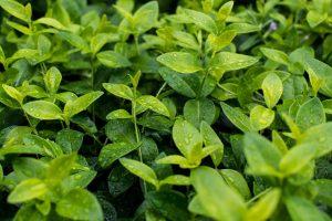 Närbild på gröna vattniga små blad