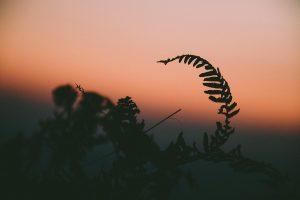En rosa solnedgång syns i bakgrunden. Närbild av en växt.