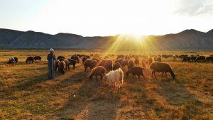 En solnedgång över en får och en fårhede