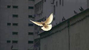 En vit duva flyger i stadsmiljö