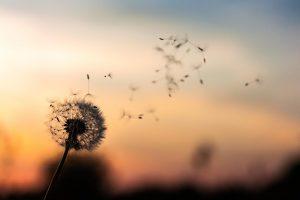 En tussilago som blommat ut och som vinden blåser på