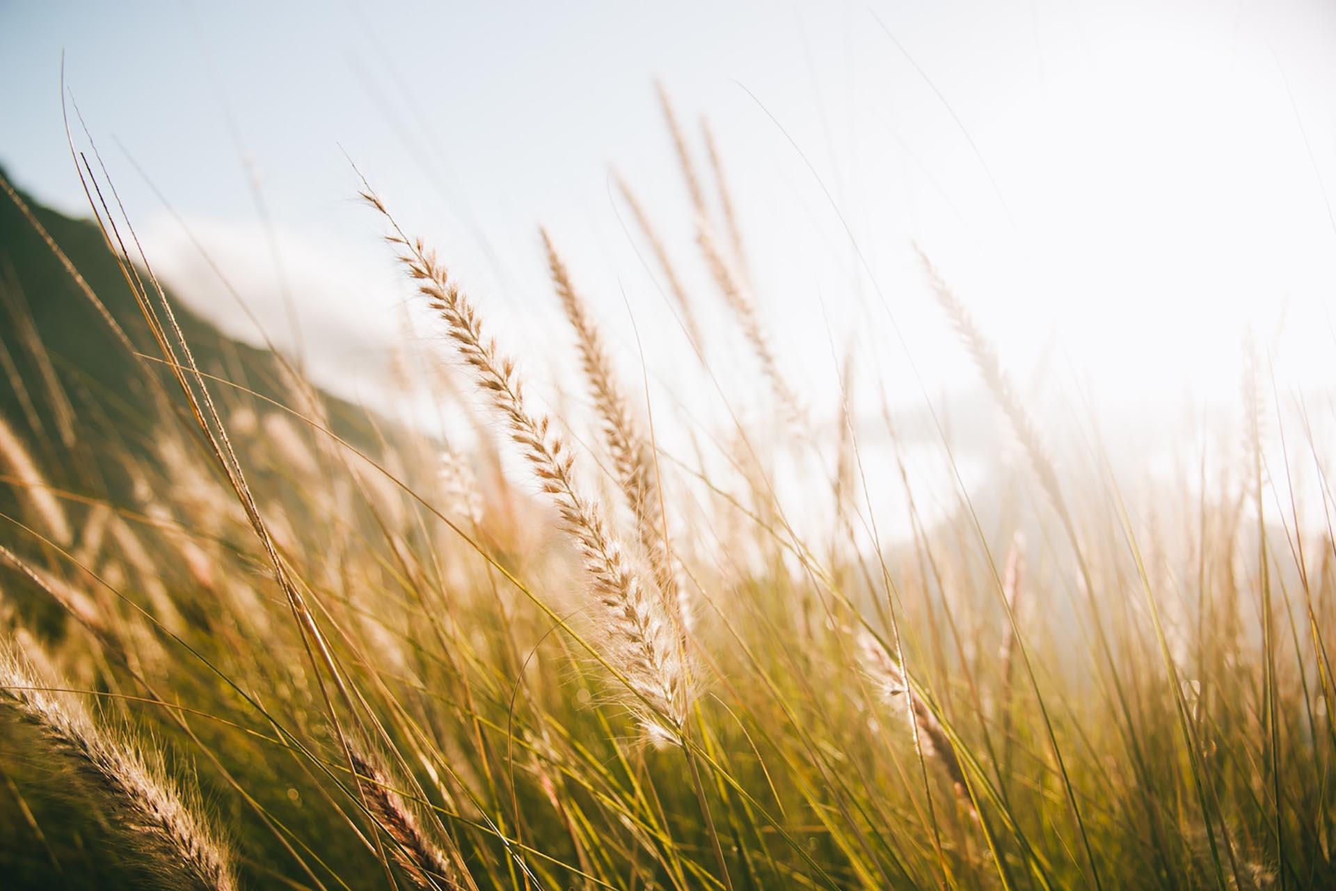 Närbild på strån på ett fält med himmel i bakgrunden
