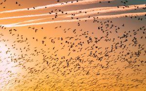 Bild på en himmel i solnedgång med massvis av fåglar som flyger
