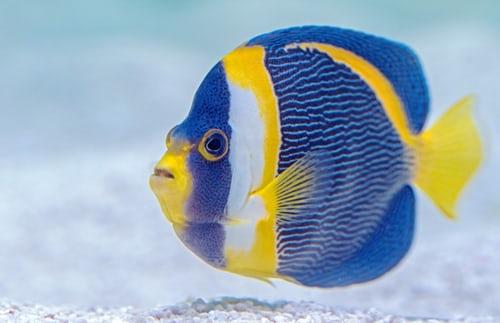 Clownfisk färgglad